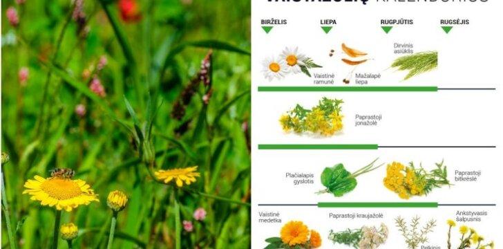 Vaistažolių rinkimo kalendorius (vasara)