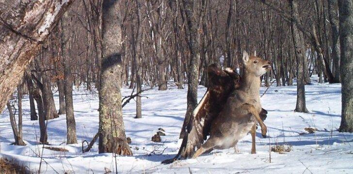 Erelis nagais įsikibo į elnią