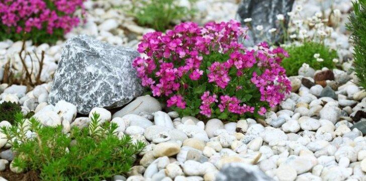 Augalai, kurie geriausiai tinka alpinariumui