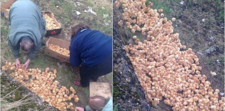Piterboro laukuose palikti viščiukai