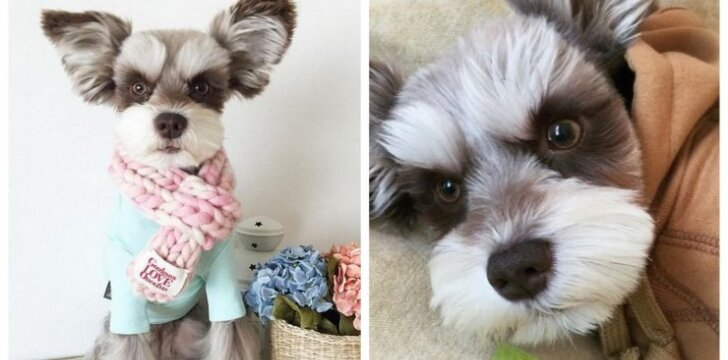 Susipažinkite su šunų supermodeliu - šnauceriu Mir