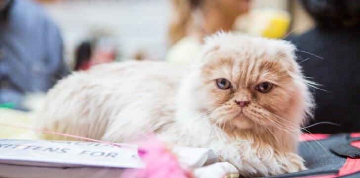 Kačių parodoje - įstabaus grožio ir itin retos katės