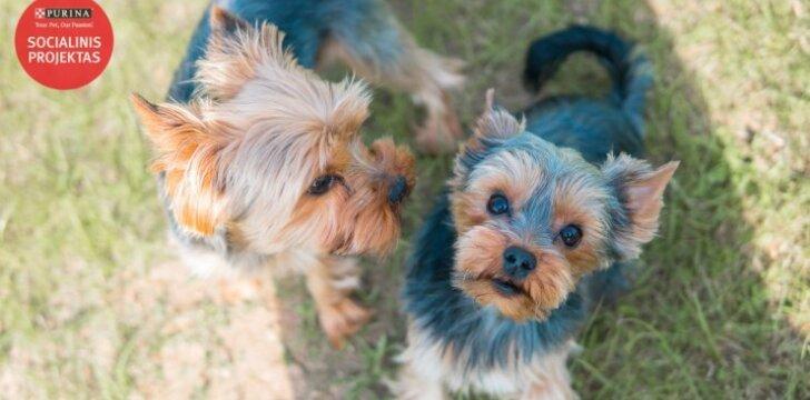 Žmonės pamiršta, kad jorkšyro terjerai – šunys, o ne žaislai