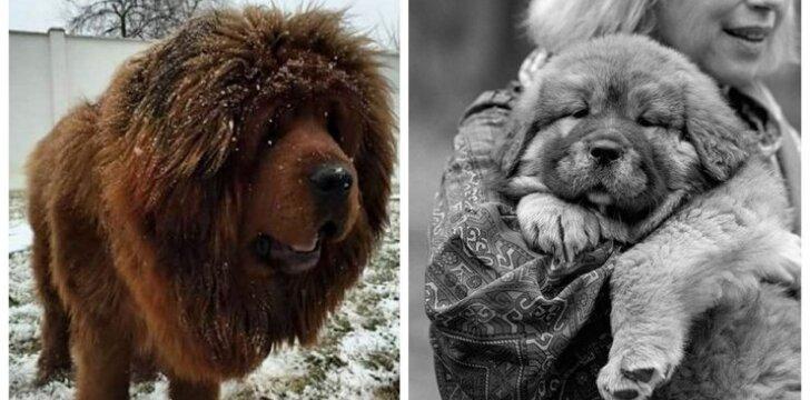 Tibeto mastifai