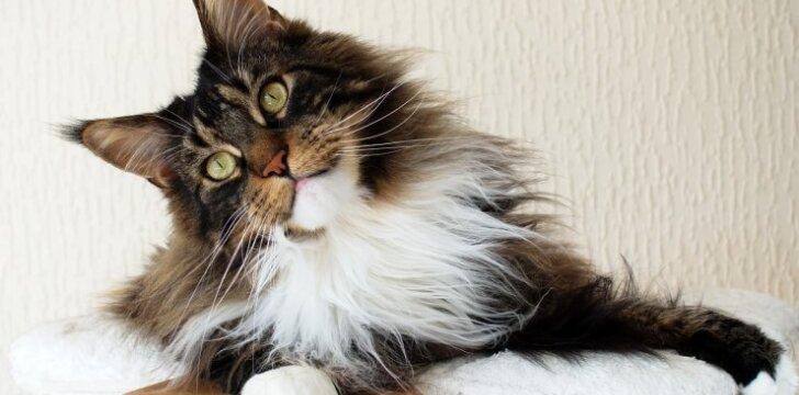 Kodėl katė intensyviai šeriasi