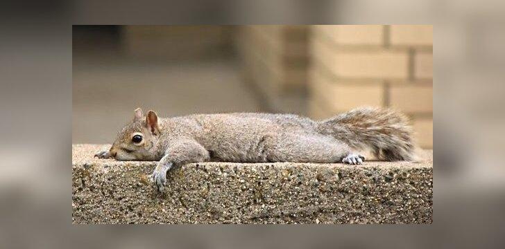 Pasiligojusi voverė