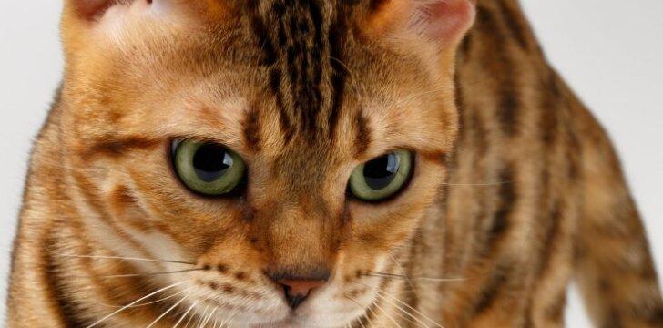 """Ką turite žinoti apie <span style=""""color: #c00000;"""">kačių AIDS</span>"""
