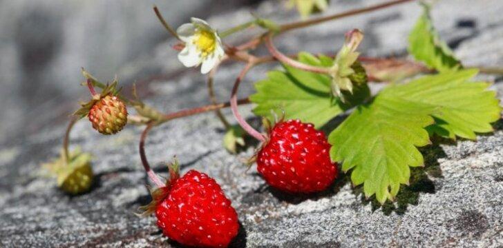 Žemuogių auginimas: atmintinė pradedantiesiems