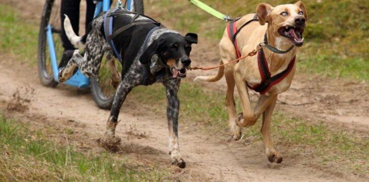 Pakaunėje – įspūdingos šunų kinkinių lenktynės
