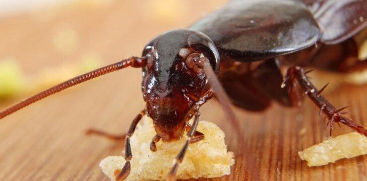 Dešimtys tarakonų naikinimo būdų: kurie iš tiesų veiksmingi