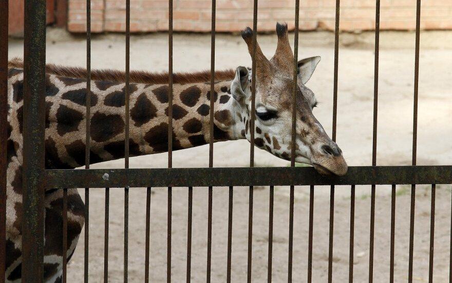 Lietuvos zoologijos sode – paskutinė galimybė pamatyti žirafas