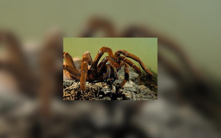 Pavojingi gyvūnai: tarantulas