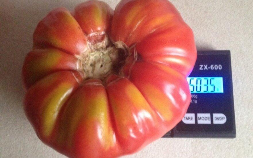 Pasidžiaugė įspūdingo dydžio daržove