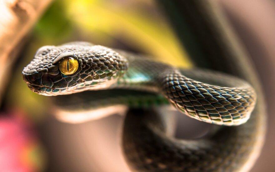 Neįtikėtina: Teksaso gyventojui įkando nukirsta gyvatės galva – jis vos išgyveno