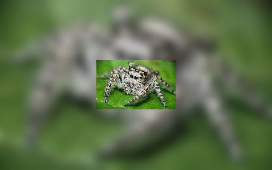 Šokinėjantis voras
