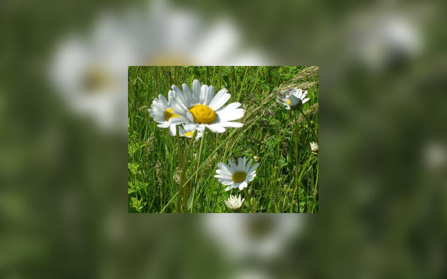 Ramunė, gėlė, pieva