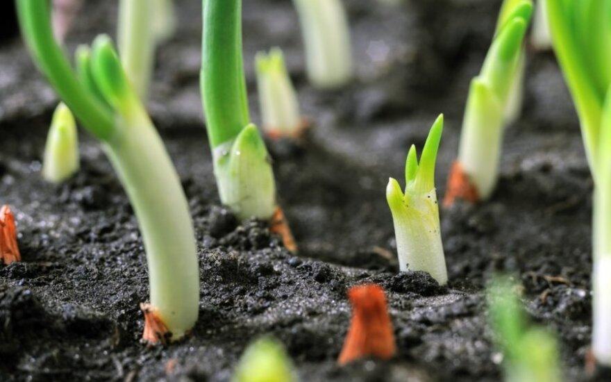 Kaip teisingai padaryti lysves, kad užaugtų kokybiškos daržovės