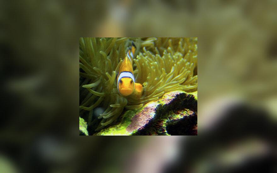 akvariumas, žuvelė