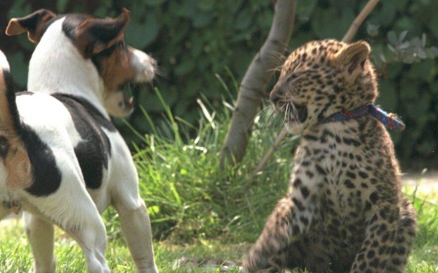 Leopardo ir šuns jaunikliai zoologijos sode