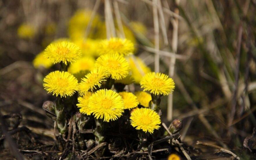 Pavasarinių augalų galios: kaip rinkti ir naudoti