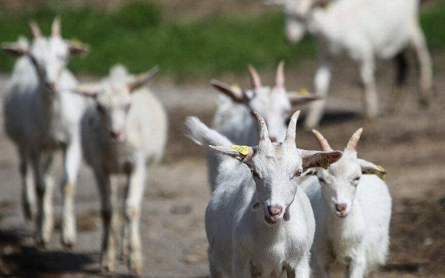 Ožkų ūkis