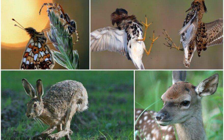 Lietuvos gamta šiuo metu knibžda žioplokų jauniklių (Romualdo Barausko, Arūno Eismanto, Mariaus Čepulio nuotr.)