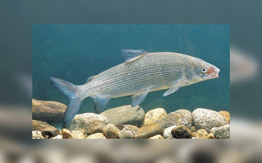 Sykas - sparčiausiai Europoje nykstanti žuvis. Priežastis - klimato kaita
