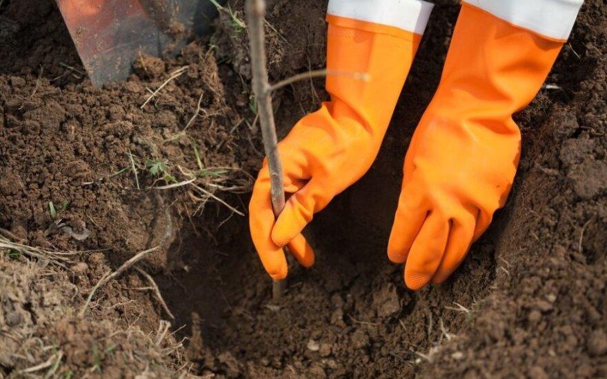 Sodo darbai rugsėjį: kaip ir ką sodinti, kad džiugintų derlius