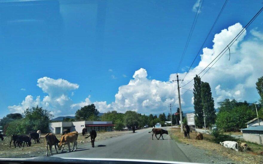 Ant kelio besiganantys gyvuliai vietinių nestebina