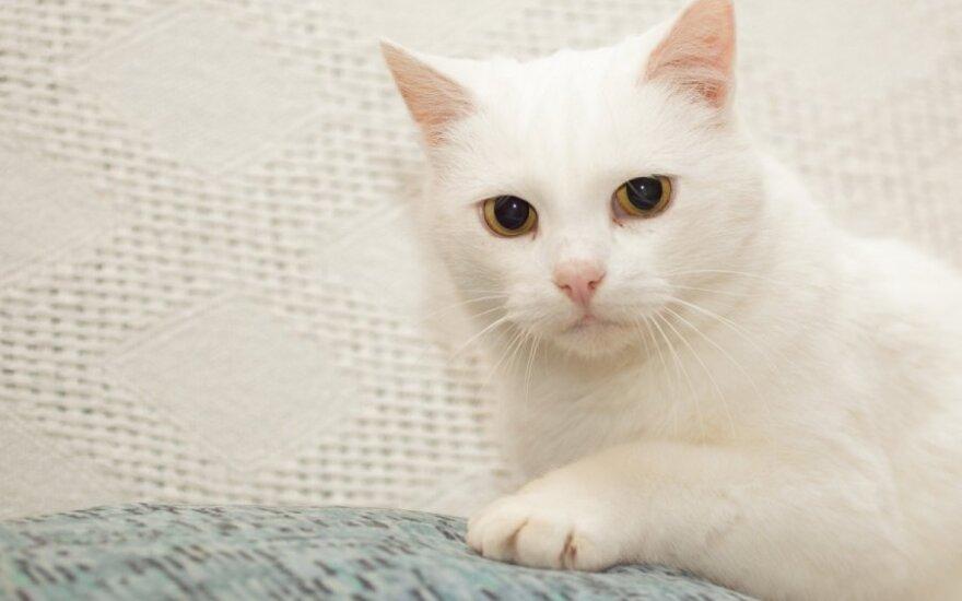 Balta, sterilizuota katytė Alba ieško namų!
