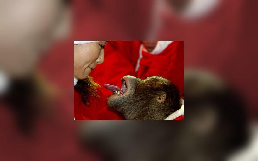 Orangutango bučinys