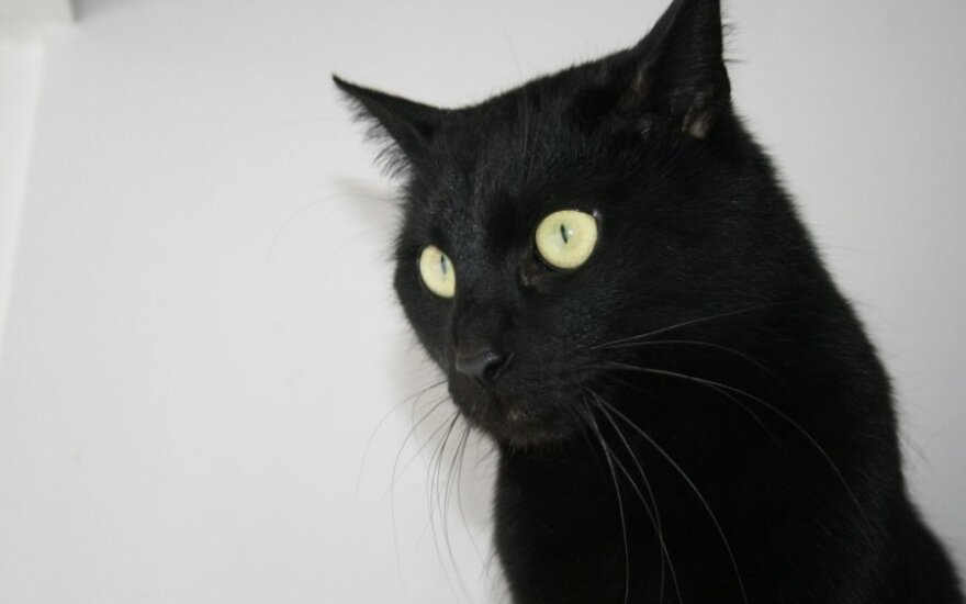 Agyra – juodųjų kačių atstovė