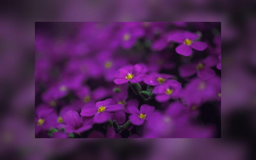 Gėlių auginimas - ir malonumas, ir verslas