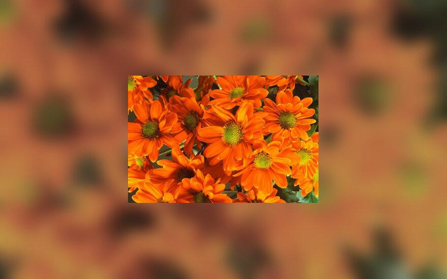 Tigrinės chrizantemos