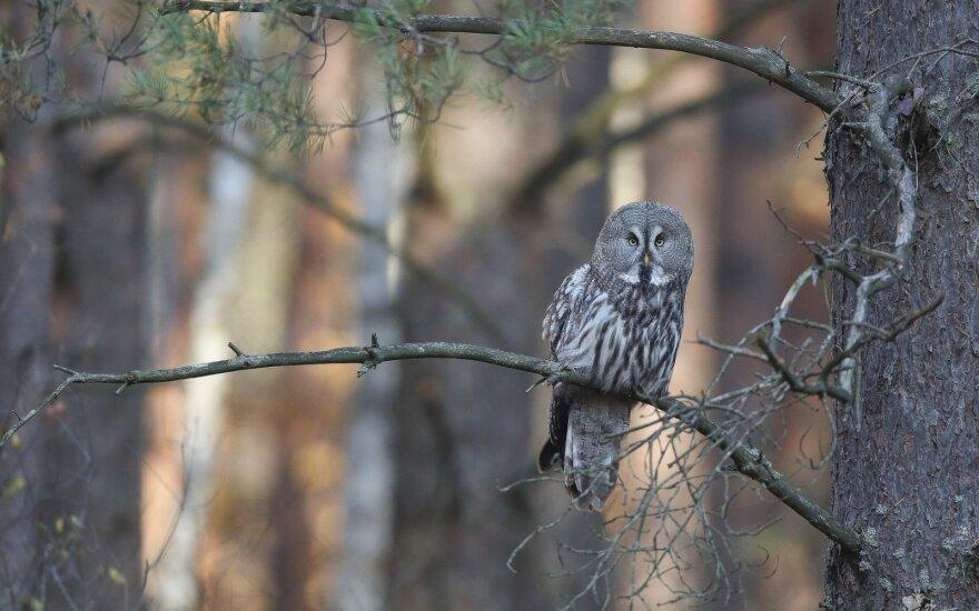 Kviečia susipažinti su ypatingais paukščiais: atskleis paslaptis apie pelėdas