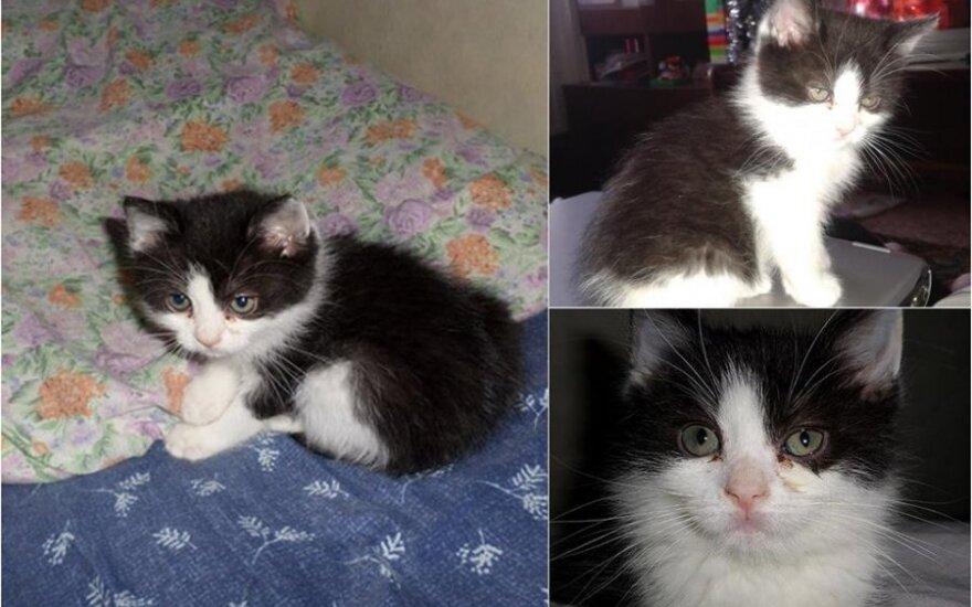 Dingo katytė Ara