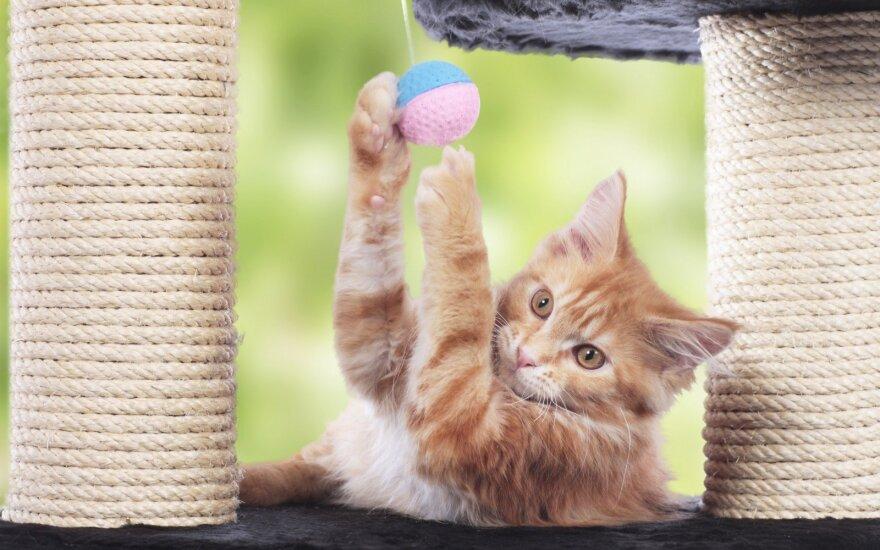 Žaidžianti katė