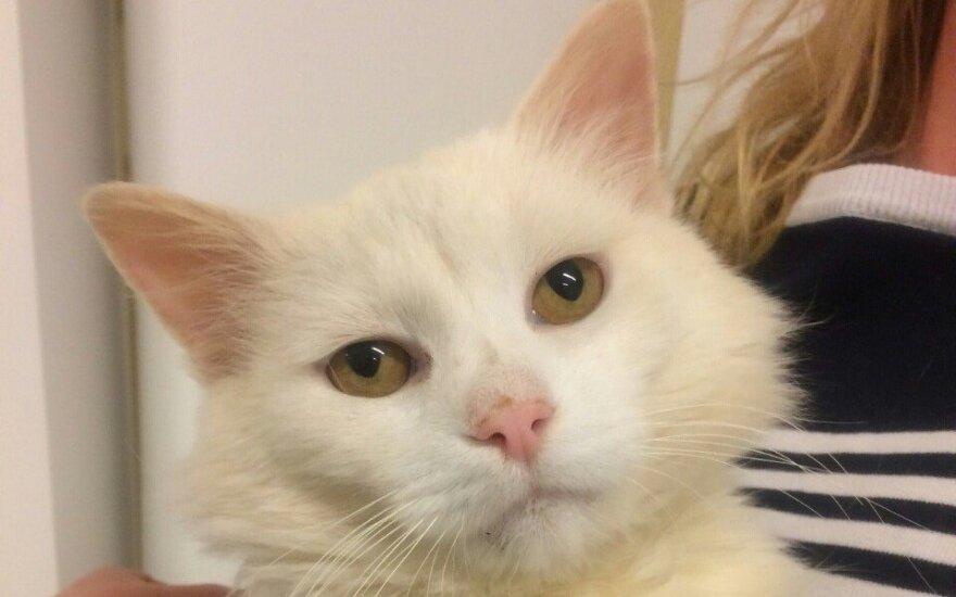 Dovanojamas liūdnas svajoklis katinas Balčius
