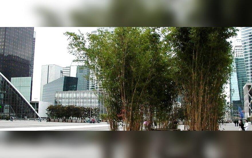 Ar Lietuvoje gali augti bambukai?