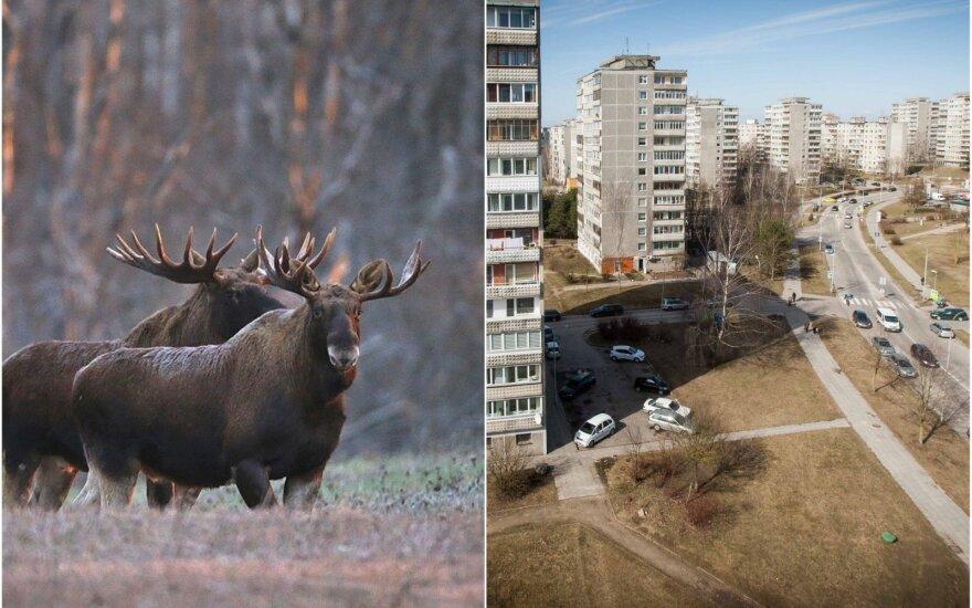 Laukiniai gyvūnai keliasi ir į miestus