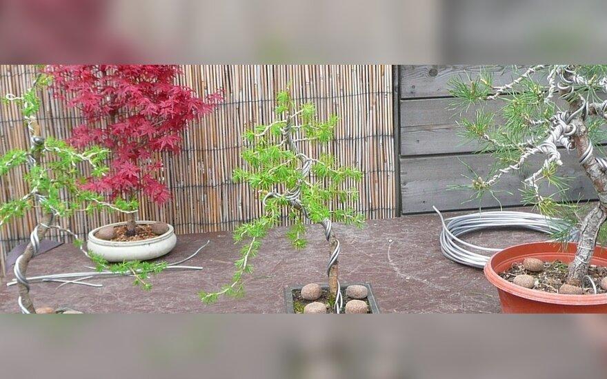 Medžių formavimo metodai - sodininkų išradingumo įrodymai