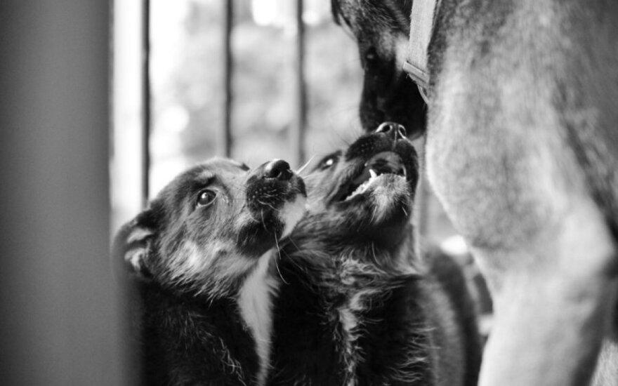Vilkšunio mišrūnas Peperis (3 mėn.) skubiai ieško namų!