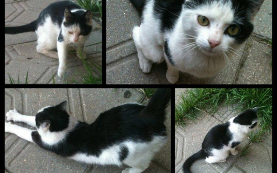 Panevėžyje priklydo katytė, ieškoma globa arba namai