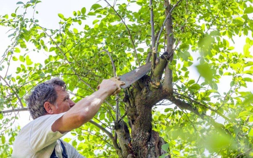 Genėti medžius reikia atsakingai