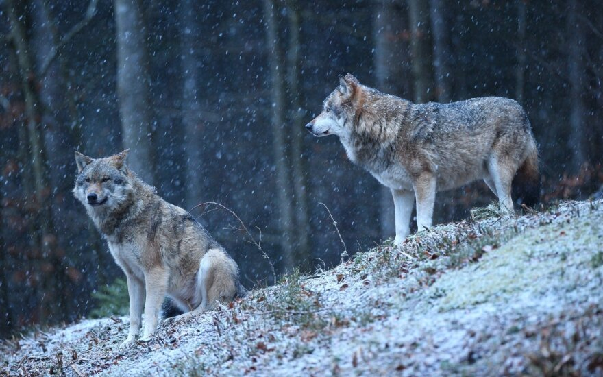 Vilkai žiemą