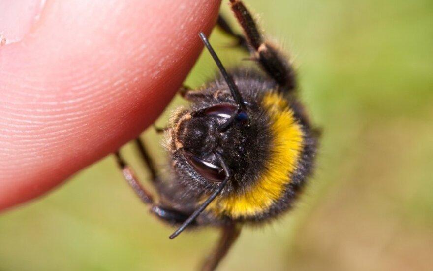 Bitė, susiruošusi įgelti