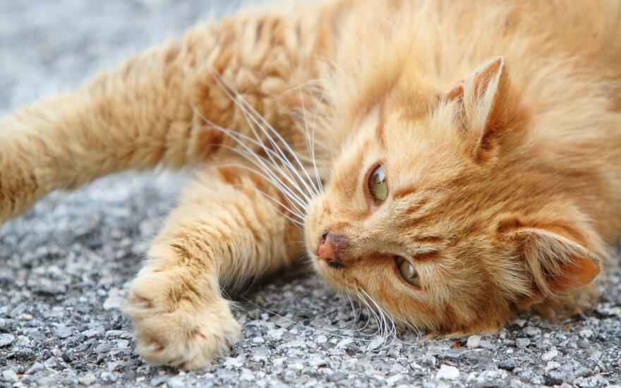 """Kaip gelbėti katę nuo <span style=""""color: #c00000;"""">prarytų plaukų</span> gumulų"""