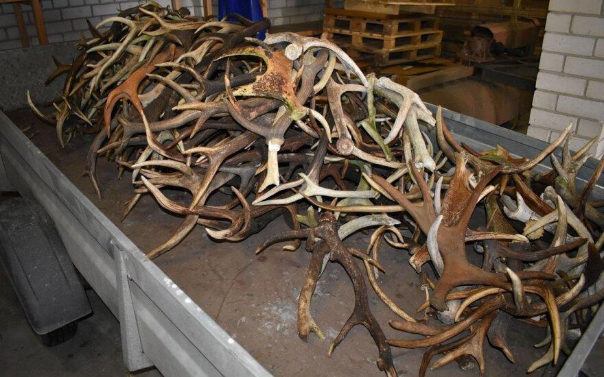 Joniškiečio automobilyje pasieniečiai rado porą šimtų briedžių ir elnių ragų
