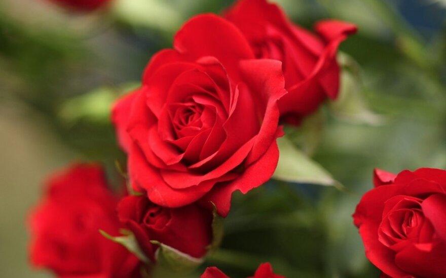 Visiškai paprasta: kaip išauginti rožę iš puokštės