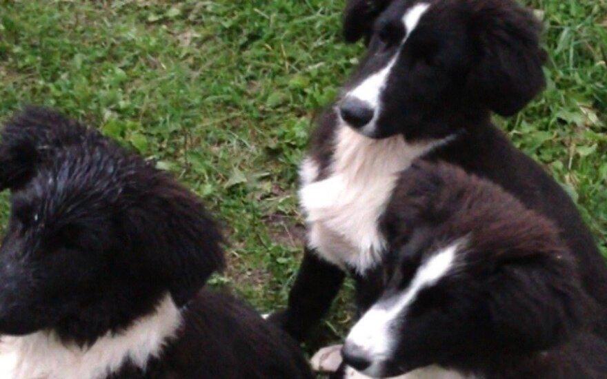 Šypsenos garantas: trynukai šuniukai linguoja į taktą